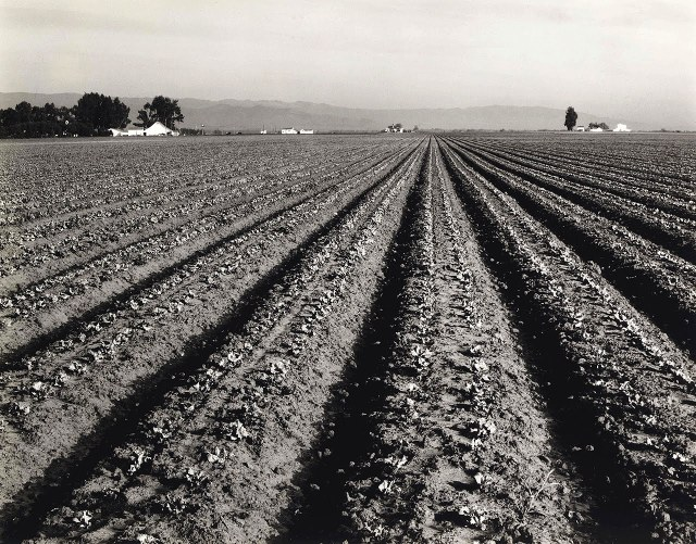 Edward Weston (1934) Lettuce Ranch, Salinas